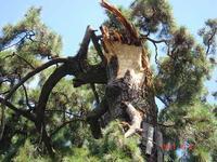 9/21蜂獲り名人登場、巨木49f番松から巨大蜂の巣ゲット - 小次郎じじ物語