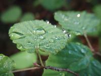 土佐水木秋雨の滴に光る水木の葉 - オーガニックな感覚(短詩文芸・冠句・川柳・その他)