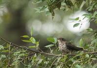 代休-2のツツドリ - 写真で綴る野鳥ごよみ