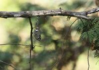 キクイタダキ - 写真で綴る野鳥ごよみ