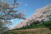 桜満開 - ichibey日々の記録