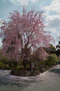 近所の神社にあるしだれ桜 - ichibey日々の記録