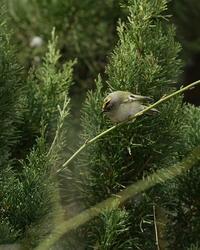 キクイタダキ♂ - 野鳥フレンド  撮り日記