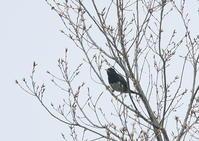 クロツグミ - 写真で綴る野鳥ごよみ