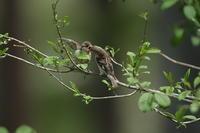 ニュウナイスズメ - 野鳥フレンド  撮り日記
