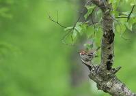 ニュウナイスズメ - 写真で綴る野鳥ごよみ