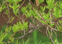 ニュウナイスズメー雛 - 写真で綴る野鳥ごよみ