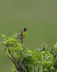 シマアオジ - 野鳥フレンド  撮り日記