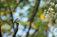 旅鳥 - 野鳥フレンド  撮り日記