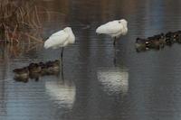 ヘラサギ - 野鳥フレンド  撮り日記