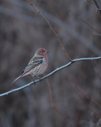 オオマシコ - 野鳥フレンド  撮り日記