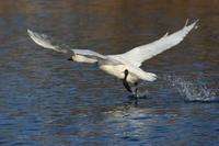 今朝は深谷の白鳥を見に... - ichibey日々の記録