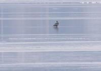 オオワシ - 写真で綴る野鳥ごよみ