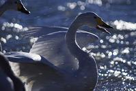 川越の越辺川の白鳥 - デジカメ写真集
