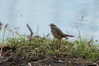 冬鳥または旅鳥 - 野鳥フレンド  撮り日記