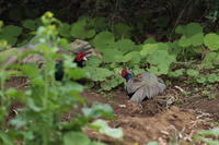 キジ - 野鳥フレンド  撮り日記