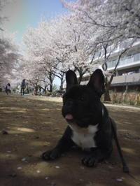 今日のワンコ&桜 - ichibey日々の記録