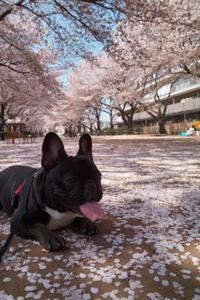 今日のワンコ、今年の桜もそろそろ終わり - ichibey日々の記録