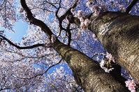 桜と菜の花@高麗巾着田 - デジカメ写真集