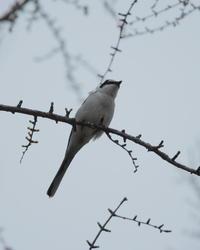 サンショウクイ - 野鳥フレンド  撮り日記