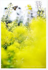 菜の花その2Nikon D70 - COSYDESIGN*COSYDAYS