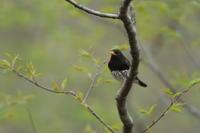 コルリ - 野鳥フレンド  撮り日記