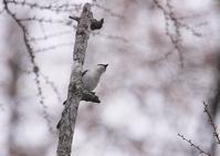 サンショウクイ - 写真で綴る野鳥ごよみ
