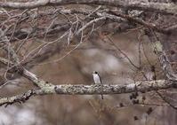 サンショウクイー3 - 写真で綴る野鳥ごよみ
