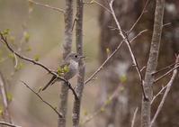 コサメビタキ、キビタキ、ノジコなど・・・ - 写真で綴る野鳥ごよみ