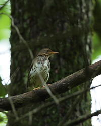 クロツグミ - 野鳥フレンド  撮り日記