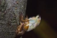 蝉の誕生 - デジカメ写真集