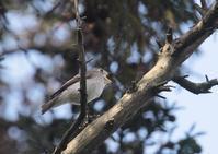 コサメビタキー再び - 写真で綴る野鳥ごよみ