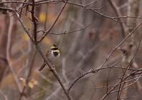 ミヤマホオジロ♂ - 写真で綴る野鳥ごよみ