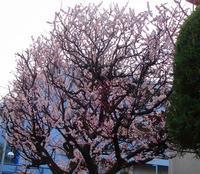 (10年3月3日)満開の梅、今年の冬景色を思い出してレビュー - ローリングウエスト(^-^)>♪逍遥日記