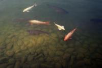 池の鯉 - 店長のガラクタ部屋