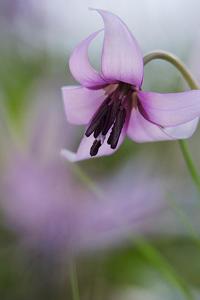 カタクリの花-3 - デジカメ写真集