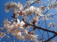 <2010年3月26~27日>10年春・桜開花風景 - ローリングウエスト(^-^)>♪逍遥日記