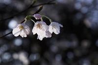 雨上がりの桜 - デジカメ写真集