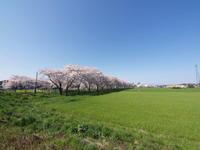 比較的近所の桜 その1 - ichibey日々の記録