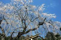 阿寺の枝垂桜 - デジカメ写真集