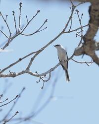 オオアカゲラ - 野鳥フレンド  撮り日記