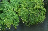 雨と新緑とキノプティック -  アルビレオの 雑記帳