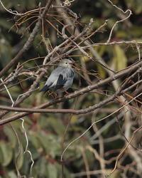 ギンムクドリ♂ - 野鳥フレンド  撮り日記