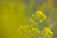 菜の花が咲き始めた - デジカメ写真集