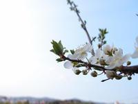 スモモの花...じゃないかと思う - 風まかせ、カメラまかせ