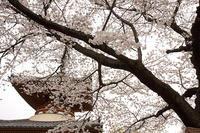 桜@喜多院&中院、川越 - デジカメ写真集