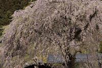 阿寺の枝垂桜@奥武蔵グリーンライン - デジカメ写真集