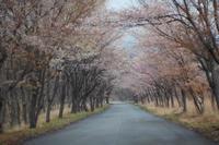 桜色の道 -  アルビレオの 雑記帳