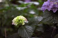雨、紫陽花&川越の街 - デジカメ写真集
