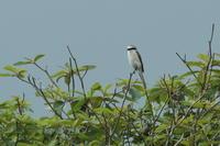 アカモズ - 野鳥フレンド  撮り日記